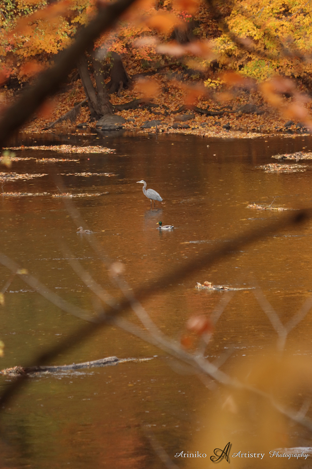 Blue Heron on Grand River